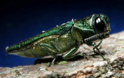 Coping with Emerald Ash Borer, Maine's Slow-Motion Natural Disaster. Could Cost Camden Maine $250,000!